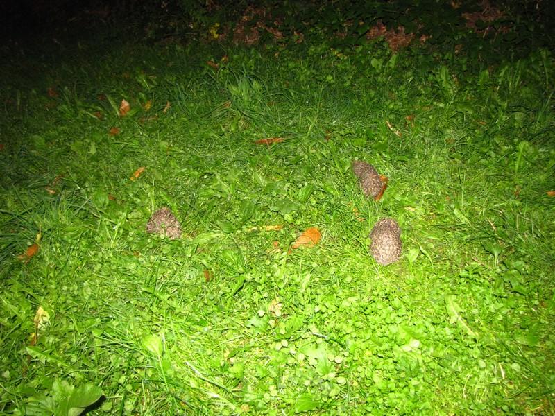 Un b b z 39 h risson dans mon jardin page 6 for Herisson dans mon jardin