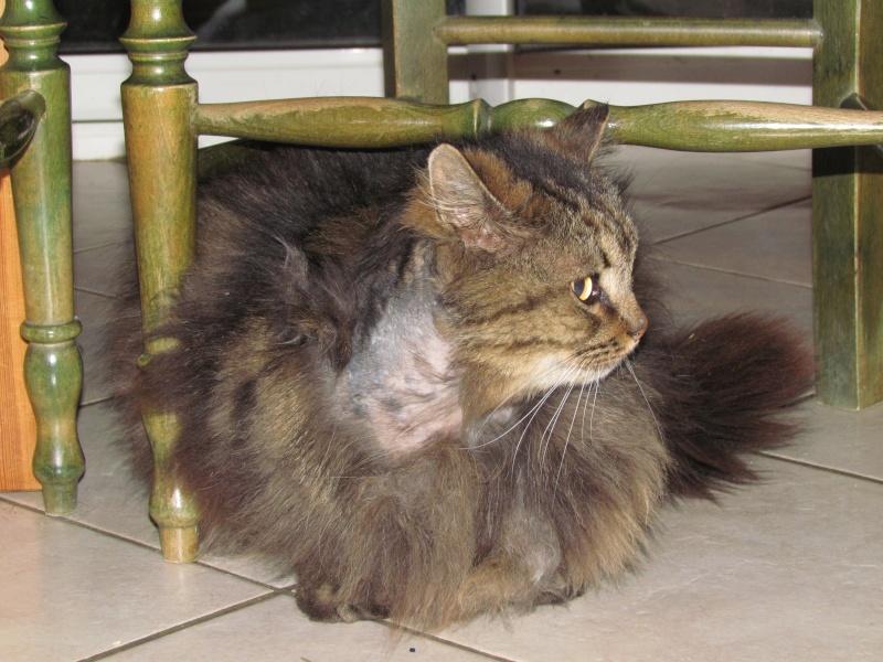 Chat male castre sociable dehors depuis des mois perd son poil au cou cherche accueil - Chat qui perd pas ses poils ...