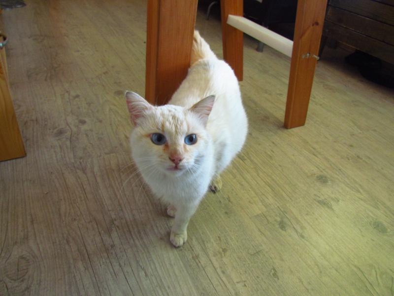 Jeune chat style siamois yeux bleu fonc a adopter - Yeux bleu fonce ...
