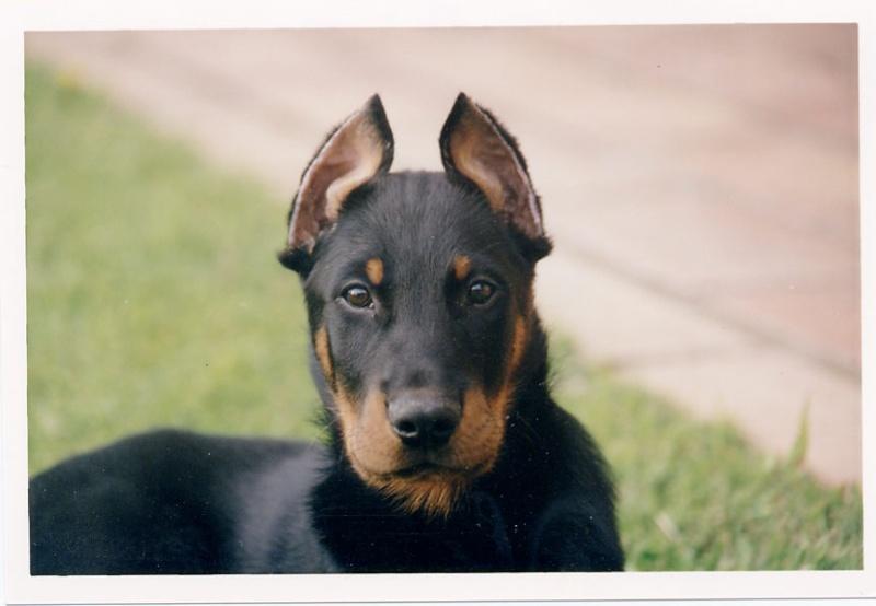 Couper les oreilles et queue des chiens ou pas page 9 - Coupe des oreilles dobermann ...