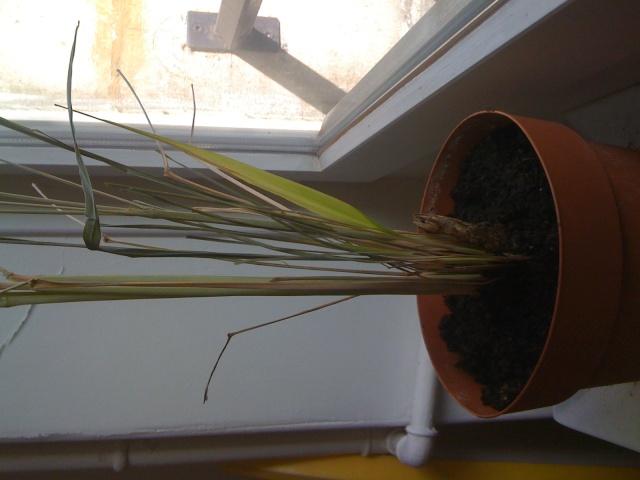 forums de jardinage afficher le sujet comment sauver cette citronnelle. Black Bedroom Furniture Sets. Home Design Ideas