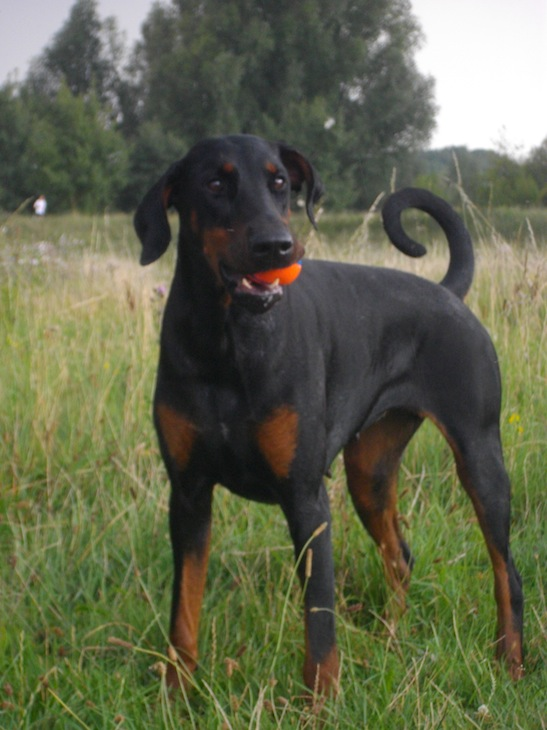 Doberman oreille coupe - Elevage dobermann oreilles coupees ...