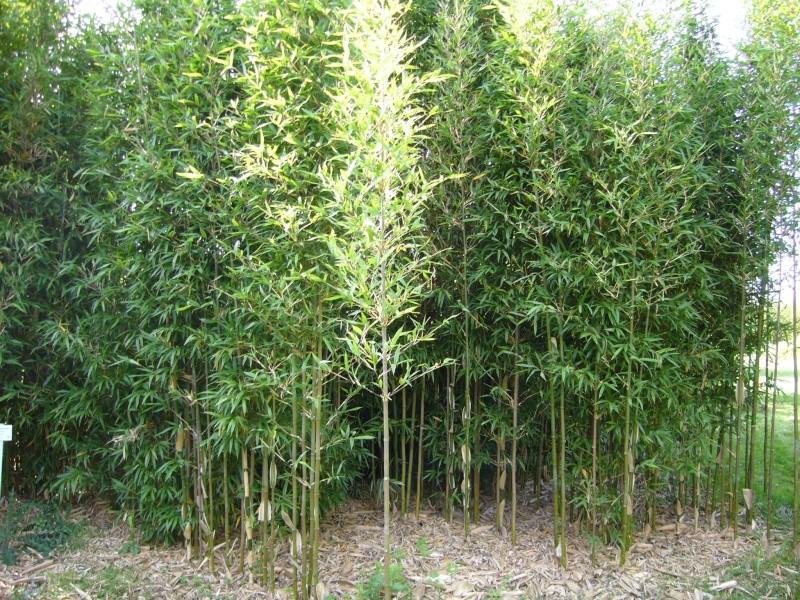vos bambous et vous vos questions vos photos ici page 304 au jardin forum de jardinage. Black Bedroom Furniture Sets. Home Design Ideas