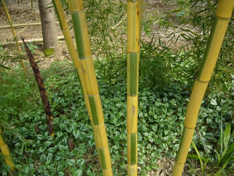 vos bambous et vous vos questions vos photos ici page 157 au jardin forum de jardinage. Black Bedroom Furniture Sets. Home Design Ideas