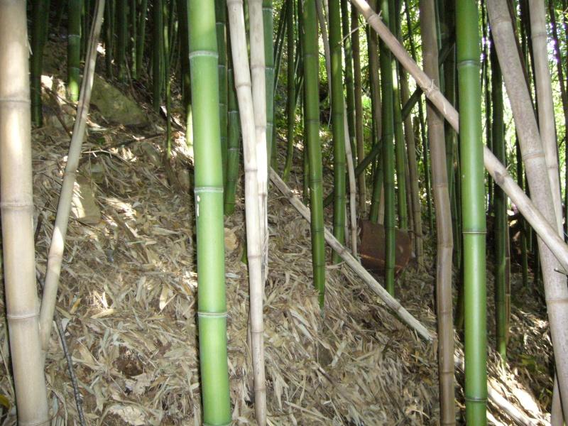vos bambous et vous vos questions vos photos ici page 152 au jardin forum de jardinage. Black Bedroom Furniture Sets. Home Design Ideas