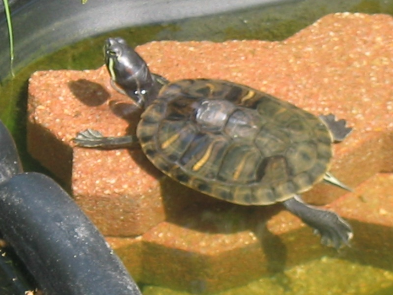 Tortue d 39 eau page 2 au jardin forum de jardinage for Bassin exterieur pour tortue de floride