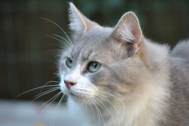 woody gris et blanc poils longs une perle de chat douai 59 62. Black Bedroom Furniture Sets. Home Design Ideas