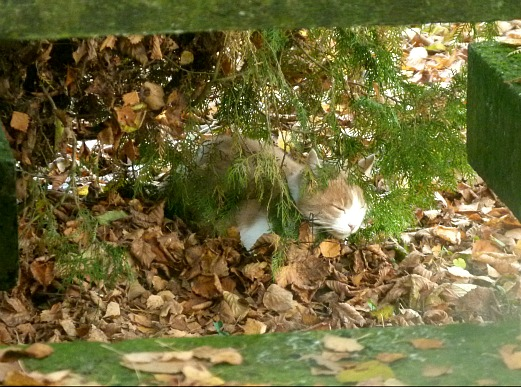Camouflage de chat...  dans Le Miroir des Chats 01810