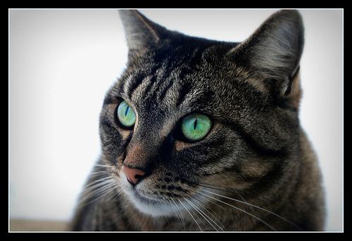 Blue eyes dans Le Miroir des Chats 31698410