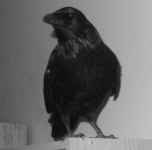 Je poussai alors le volet, et, avec un tumultueux battement d'ailes... dans Les Oiseaux Noirs dsc00112
