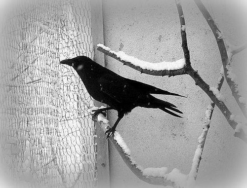 Il neige !  dans Les Oiseaux Noirs dsc00410