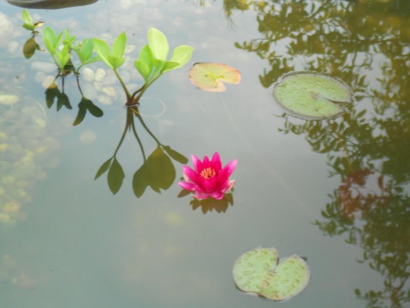 O acheter de belles plantes aquatiques en bonne sant for Ou acheter des plantes