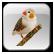 منتدى طائر الزيبرا فينش