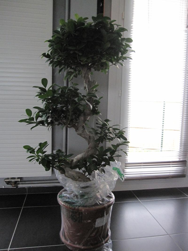 d butant avec un ficus microcarpa ginseng mes premiers bonsai pr sentation et premiers. Black Bedroom Furniture Sets. Home Design Ideas