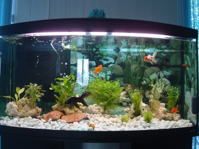 D coration aquarium poisson japonais for Aquarium poisson rouge nettoyage