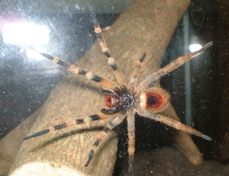 araignée la plus dangereuse du monde