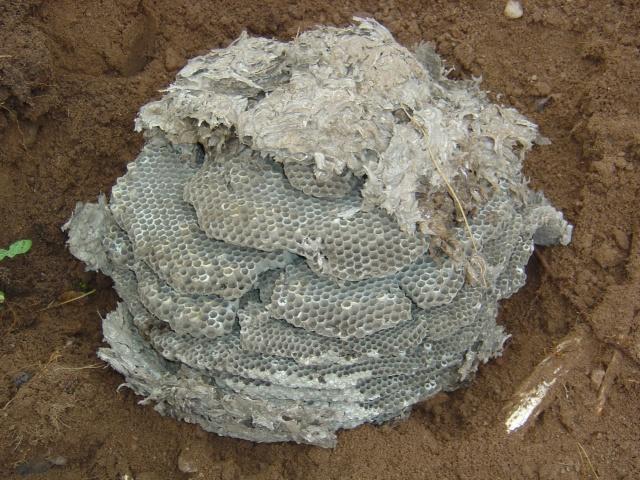 Drole de r colte - Comment detruire un nid de guepe en terre ...