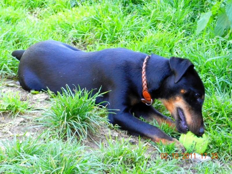 Chiot m le de 6 mois jagd terrier spa velaine en haye for Salon chiot nancy