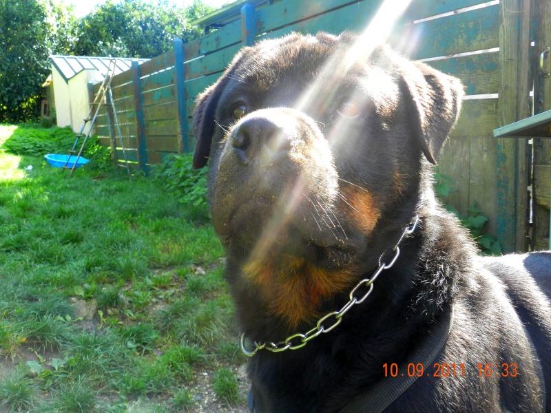 Tobby n 18 04 2008 rottweiler spa velaine en haye adopte for Salon chiot nancy