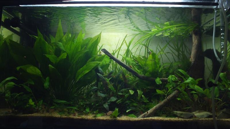 110 litres plant corydoras panda microdevario kubotai - Arbre a faible racine ...