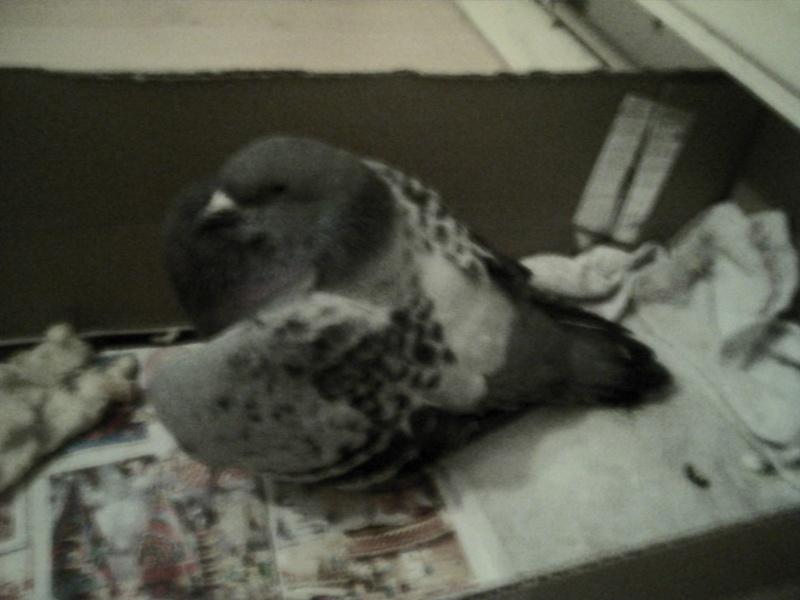 pigeon a l 39 aile cass e. Black Bedroom Furniture Sets. Home Design Ideas
