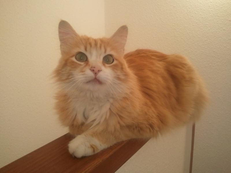 7 trucs cool propos des chats roux - Yummypets