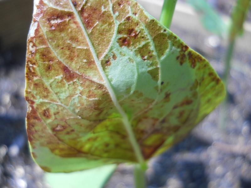 'Rust' on Bean leaves