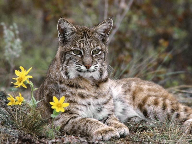 8 jenis spesis kucing bentuk macam harimau dan singa  ngaumm