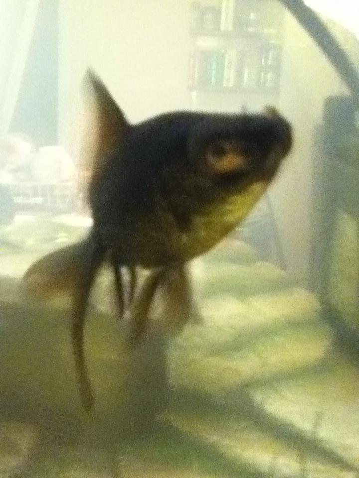 Probl me de place et demande de conseils pour poisson rouge for Poisson rouge queue de voile